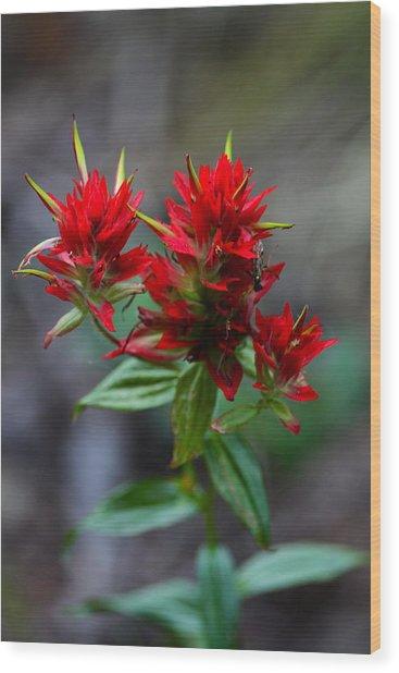 Scarlet Red Indian Paintbrush Wood Print