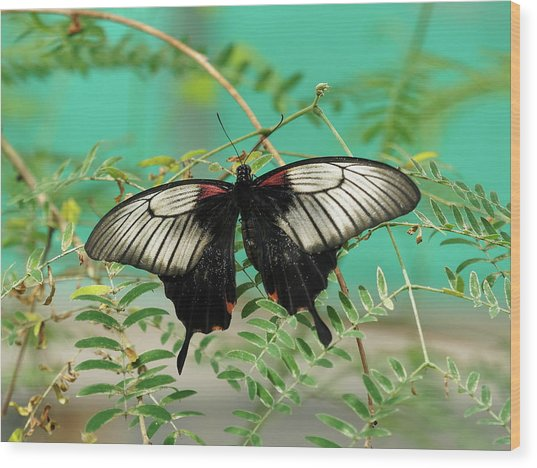Wood Print featuring the photograph Scarlet Swallowtail Butterfly -2 by Paul Gulliver