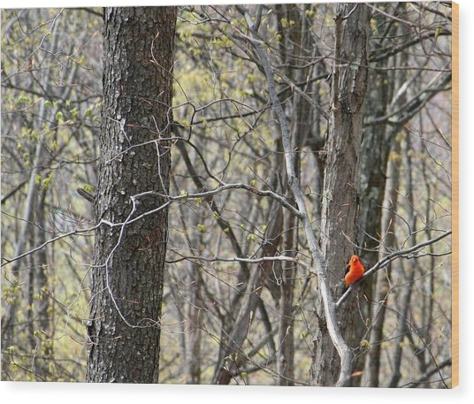 Scarlet Tanager Male Facing Wood Print by Donald Lively