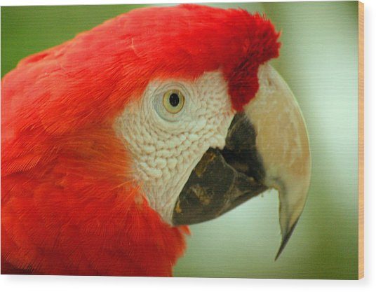 Scarlett Macaw South America Wood Print