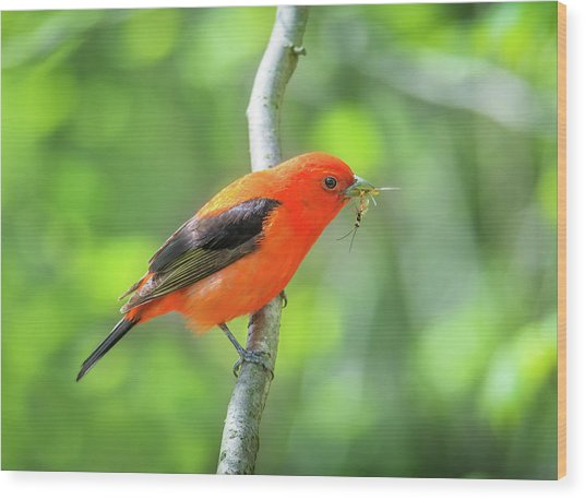 Scarlett Tanager And Prey Wood Print