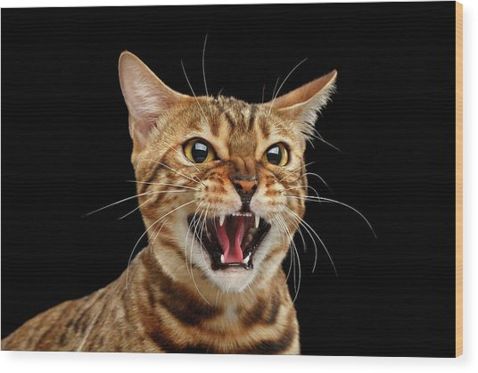 Scary Hissing Bengal Cat On Black Background Wood Print