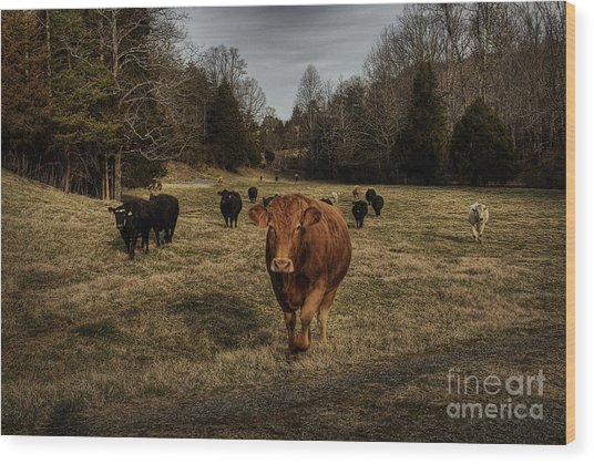 Scotopic Vision 9 - Cows Come Home Wood Print