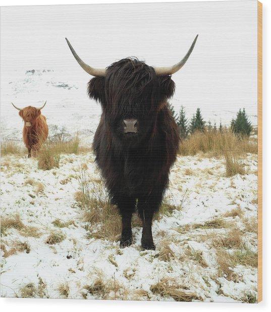 Scottish Black Highland Coo Wood Print