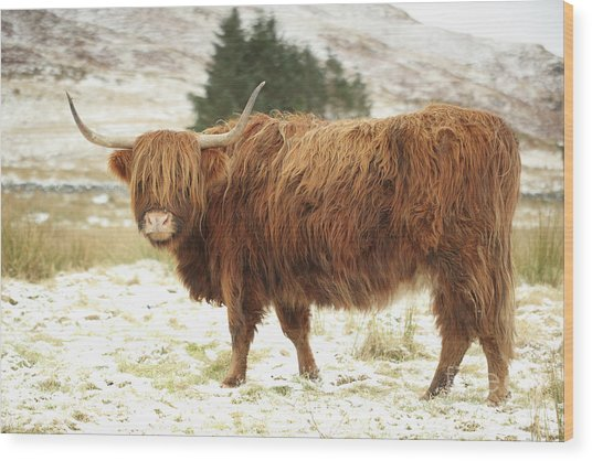 Scottish Red Highland Cow In Winter Wood Print