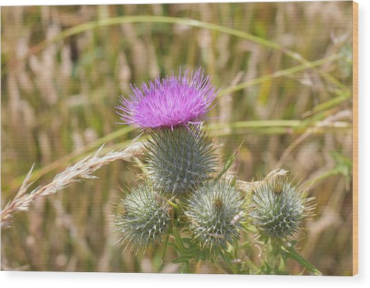 Scottish Thistle Wood Print