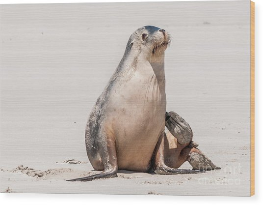 Sea Lion 1 Wood Print