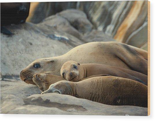 Sea Lion Family Wood Print