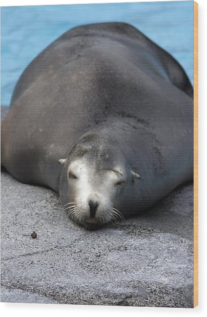 Sea Lion Snooze Wood Print