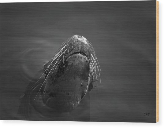 Sea Lion V Bw Wood Print