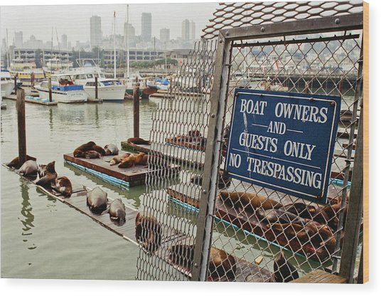 Sea Lions Take Over, San Francisco Wood Print