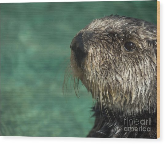 Sea Otter Stare Down Wood Print