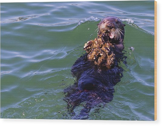Sea Otter With Lunch Wood Print