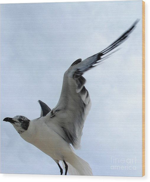 Seagull In Flight II Wood Print