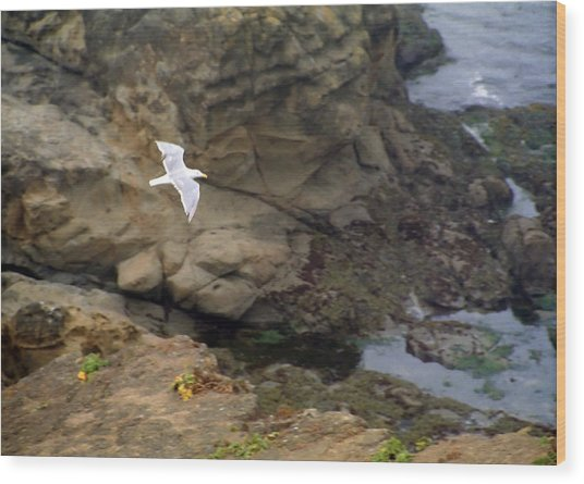 Seagull In Flight Wood Print by Steve Ohlsen
