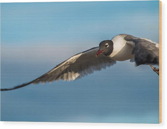 Seagull Portrait In Flight Wood Print