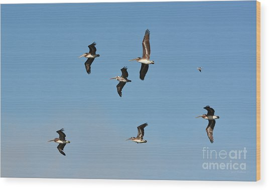 Seagull Soaring With Pelicans Wood Print