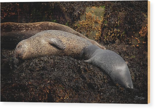 Wood Print featuring the photograph Seal Nursing Pup by David A Lane