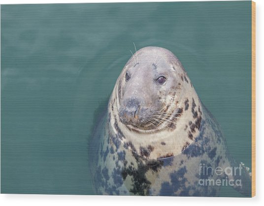 Seal With Long Whiskers With Head Sticking Out Of Water Wood Print
