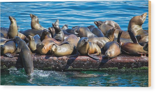 Sealions On A Floating Dock Another View Wood Print