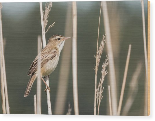 Sedge In The Sedge Wood Print