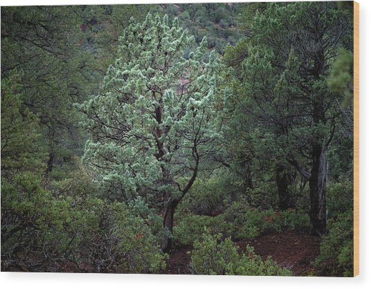 Sedona Tree #1 Wood Print