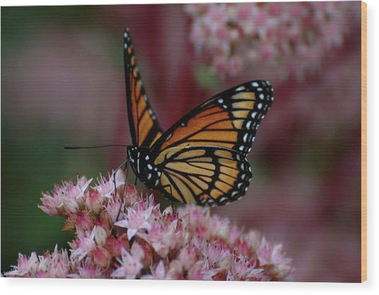 Sedum Butterfly Wood Print