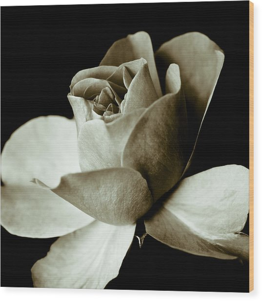 Sepia Rose Wood Print by Frank Tschakert