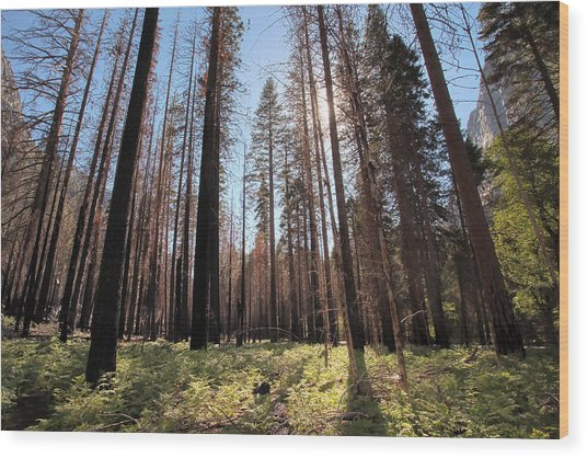 Sequoia Forest At Sunrise Wood Print by Rick Pham