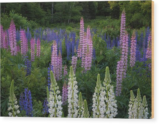 Shades Of Lupines Wood Print