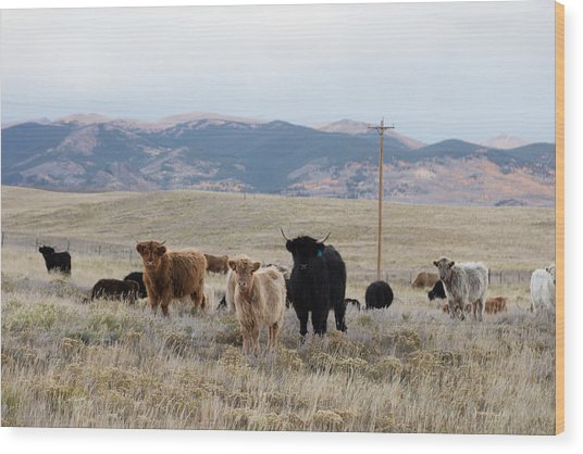 Shaggy-coated Cattle Near Jefferson Wood Print
