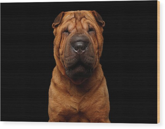 Sharpei Dog Isolated On Black Background Wood Print