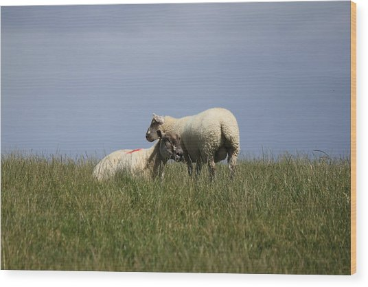Sheep 4221 Wood Print