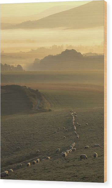 Sheep And Misty South Downs Wood Print