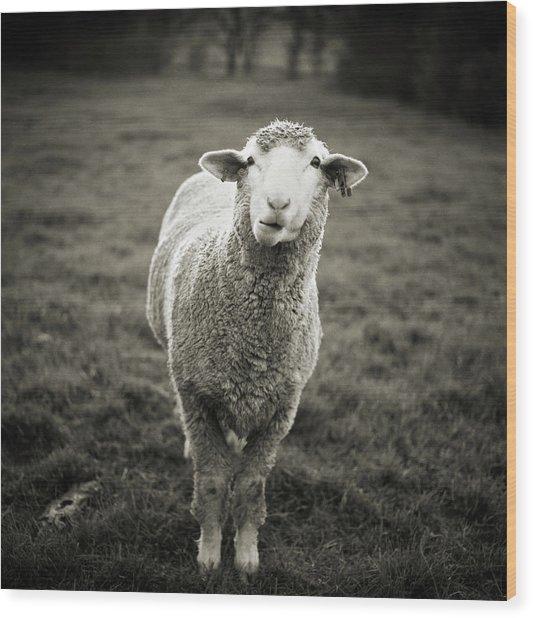 Sheep Chewing Cud Wood Print