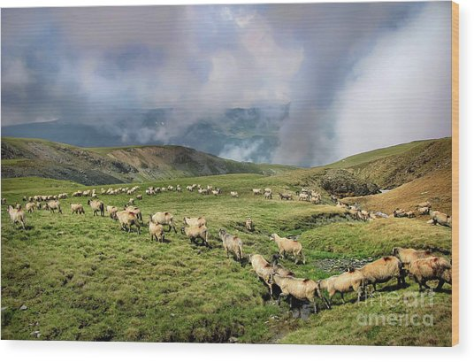 Sheep In Carphatian Mountains Wood Print