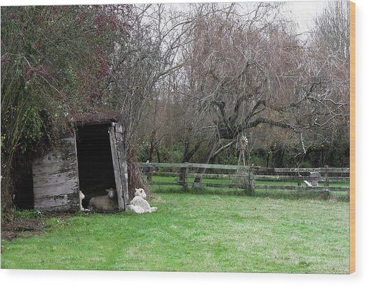 Sheep Shed Wood Print