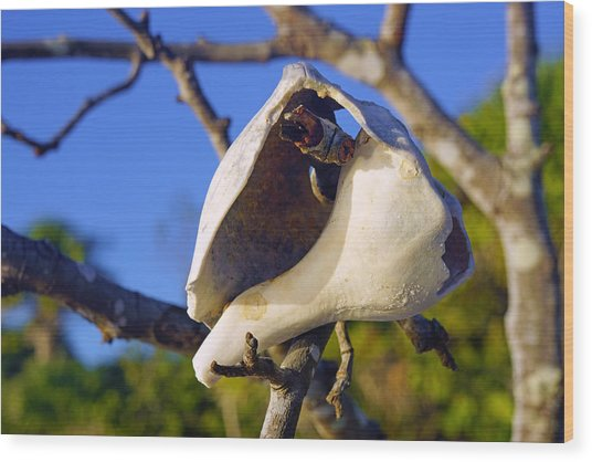 Shell On Brach Of Mangrove Tree At Barefoot Beach In Napes, Fl Wood Print