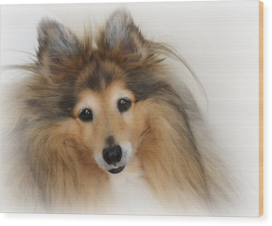 Sheltie Dog - A Sweet-natured Smart Pet Wood Print