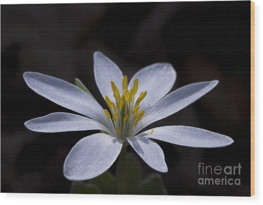 Shimmering Petals Wood Print