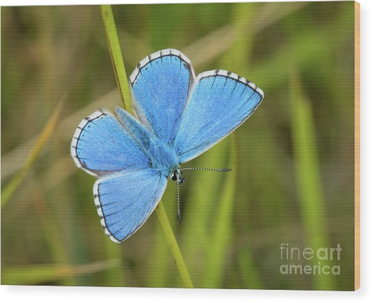 Wood Print featuring the photograph Shocking Blue Butterfly by Paul Farnfield