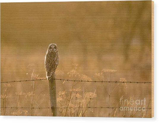 Short-eared Owl At Sunset Wood Print