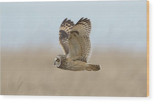 Short-eared Owl Hunting Wood Print