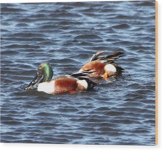 Shoveler Duck 1 Wood Print
