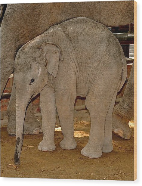 Shy Baby Elephant Wood Print