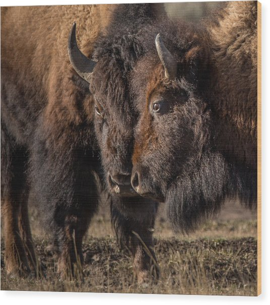 Siblings // Lamar Valley, Yellowstone National Park Wood Print
