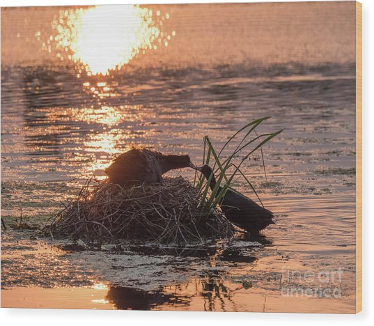 Silhouette Of Nesting Coots - Fulica Atra - At Sunset On Golden Po Wood Print
