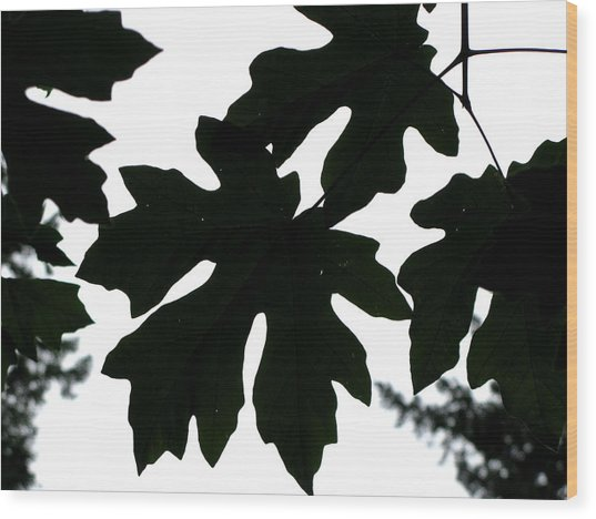 Silhouetted Maple Wood Print by PJ  Cloud