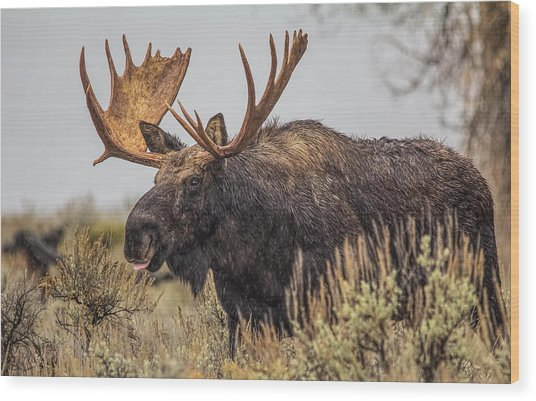 Silly Moose  Wood Print