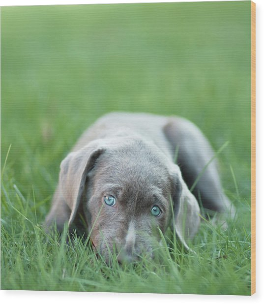 Silver Lab Puppy Wood Print